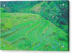 Rice Fields In Indonesia Acrylic Print