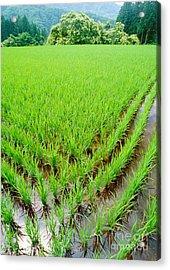 Rice Paddy Acrylic Print