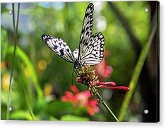 Rice Paper Butterfly (idea Leuconoe Acrylic Print by Chuck Haney