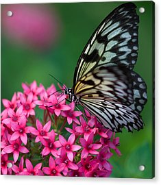 Rice Paper Butterfly Acrylic Print