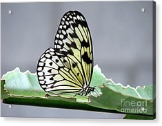 Rice Paper Butterfly On A Leaf Acrylic Print by Inspired Nature Photography Fine Art Photography