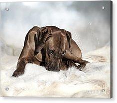 Ridgeback Tenderness Acrylic Print by Lena Lottsfeldt Vincken