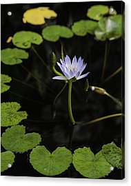 Ring Around The Lilly Acrylic Print