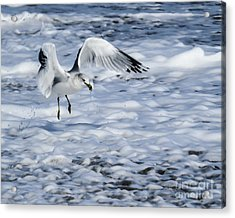Ring-billed Gull				 Acrylic Print by Zina Stromberg