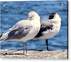 Ring-billed Gulls Acrylic Print
