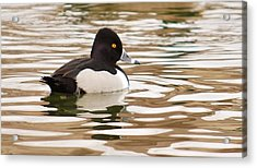 Ring-necked Duck Acrylic Print by Joy Bradley