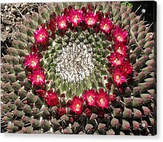 Ring Of Red Cactus Flowers Acrylic Print