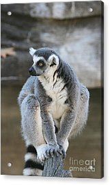 Acrylic Print featuring the photograph Ring-tailed Lemur #3 by Judy Whitton