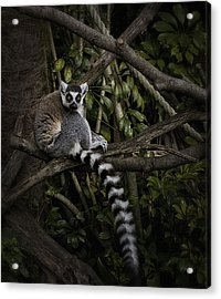 Acrylic Print featuring the photograph Ring Tailed Lemur by Kim Andelkovic