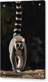Ring-tailed Lemur Madagascar Acrylic Print