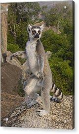 Ring-tailed Lemur Standing Madagascar Acrylic Print