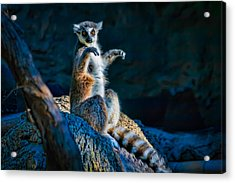 Ring-tailed Lemur Acrylic Print by Tim Stanley