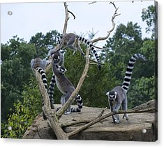 Ring Tailed Lemurs Playing Acrylic Print