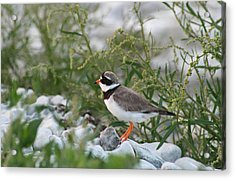 Ringed Plover On Rocky Shore Acrylic Print