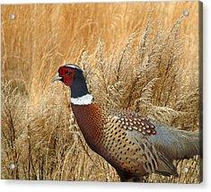 Ringneck Pheasant  Acrylic Print