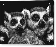 Ringtail Lemurs Acrylic Print by Heather Ward