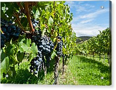 Ripe Grapes Right Before Harvest In The Summer Sun Acrylic Print by Ulrich Schade