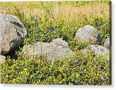 Ripe Maine Low Bush Wild Blueberries Acrylic Print by Keith Webber Jr