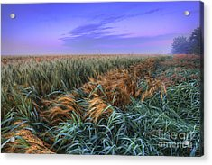Ripening Barley At Dawn Acrylic Print