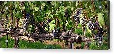 Ripening Grapes Acrylic Print by Carol Groenen