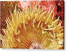 Rise And Shine Sea Anemone- Pictures Of Sea Creatures - Sea Anenome  Acrylic Print by Artist and Photographer Laura Wrede