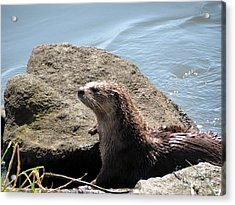 River Otter Sunning By The Lake Acrylic Print by Gayle Swigart