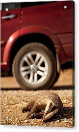 Road Kill - Badger Acrylic Print by Photostock-israel