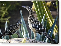 Roadrunners At Play  Acrylic Print by Saija  Lehtonen
