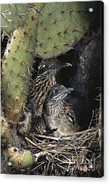 Roadrunners In Nest Acrylic Print by Anthony Mercieca