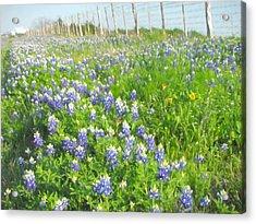 Roadside Bluebonnets  Acrylic Print