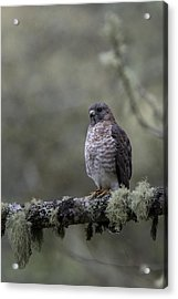Roadside Hawk On Lichen-covered Branch 1 Acrylic Print