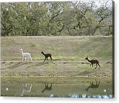 Roaming Alpacas Acrylic Print by Bonnie Muir