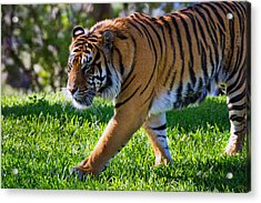 Roaming Tiger Acrylic Print