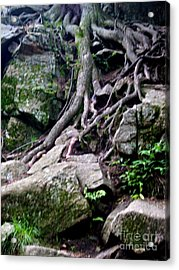 Roaming Tree Roots Acrylic Print