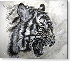 Acrylic Print featuring the drawing Roaring Tiger by Lori Ippolito