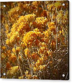 Robert Melvin - Fine Art Photography - Golden Yarrow Acrylic Print