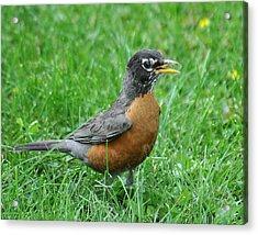 Robin 334 Acrylic Print