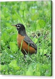 Robin 370 Acrylic Print
