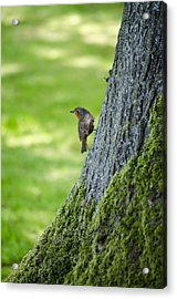 Robin At Rest Acrylic Print