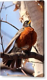 Robin Bird Acrylic Print by Diane Rada