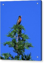 Robin Christmas Tree Topper Acrylic Print by Bill Swartwout