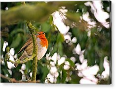 Robin  Acrylic Print by Dave Woodbridge