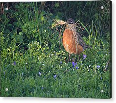 Robin Gathering For Nest Acrylic Print