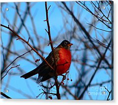 Acrylic Print featuring the photograph Robin by Gena Weiser