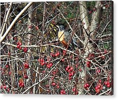 Robin In The Crab Apple Trees Acrylic Print