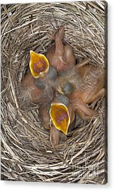 Robin Nestlings Acrylic Print by Scott Camazine