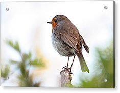 Robin On A Pole Acrylic Print
