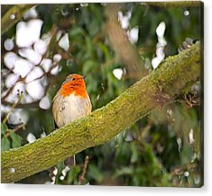 Robin On Branch Acrylic Print by Dave Woodbridge