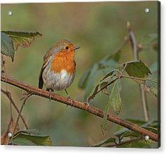 Acrylic Print featuring the photograph Robin by Paul Scoullar