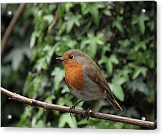 Robin Acrylic Print by Peter Skelton